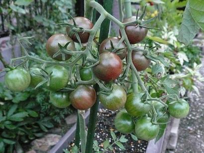 Tomato_004