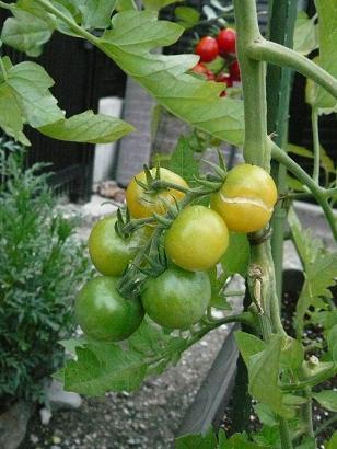 Tomato_007_2